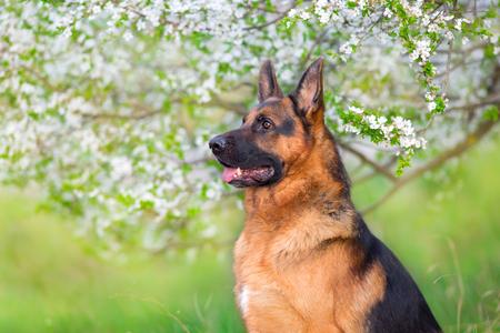 German shephard portrait in apricot blossom Standard-Bild