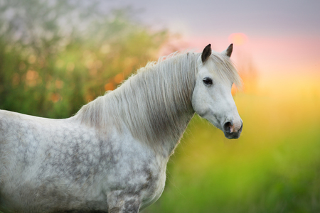 White horse with long mane close up portrait at sunrise