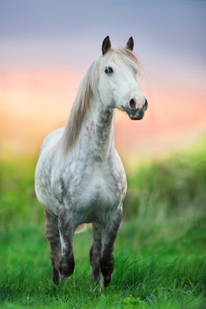 White horse standing in green spring grass at sunrise