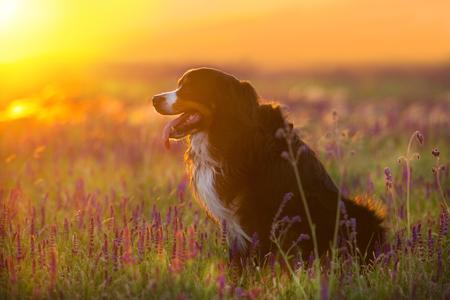 Bernese dog portrait silhouette at sunset Stock Photo