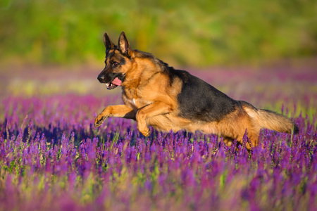 Shephard dog run fast in violet flowers Фото со стока