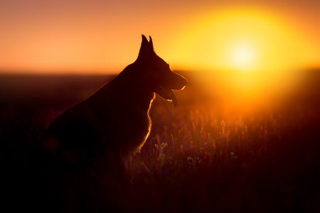 German shephard dog portrait silhouette at sunset 免版税图像