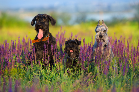 Riesen mittel  zwerg schnauzer dog close up portrait in violet flowers