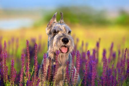 Riesen schnauzer dog close up portrait in violet flowers