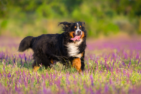 Bernese Mountain Dog run in violet flowers field Stockfoto