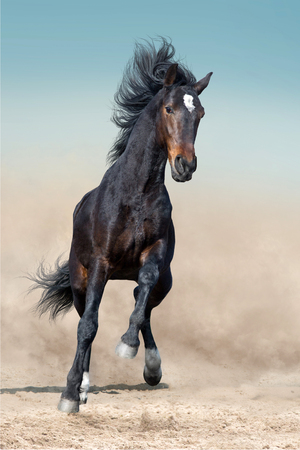 Bay stallion with long mane run in desert dust against blue sky