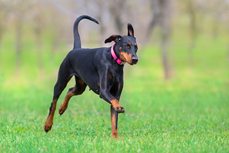 Black doberman run fast in spring field in park