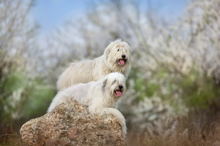 Two South russian sheepdog in spring blossom