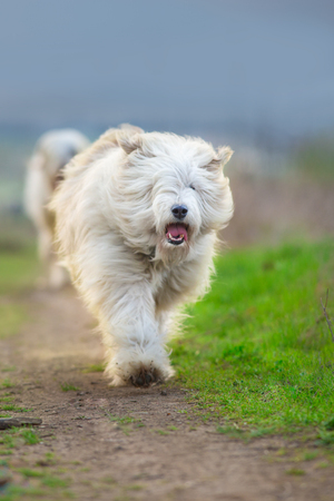 South russian sheepdog run free Stock fotó