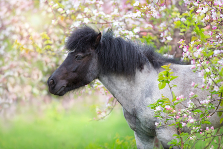 Pony portrait in spring pink blossom tree