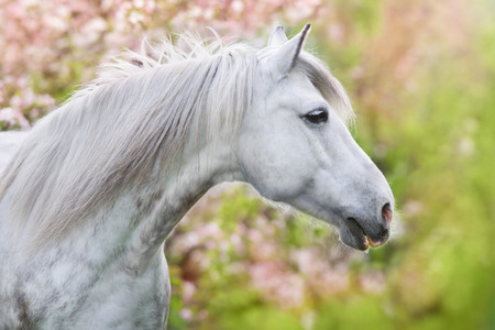 White horse portrait in spring pink blossom tree 스톡 콘텐츠 - 103339211