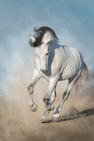 White horse run gallop in desert dust against blue sky