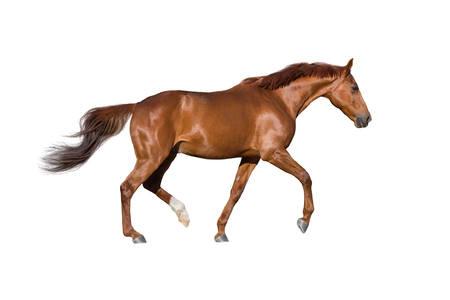 Red horse run gallop isolated on white