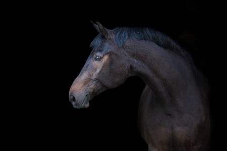 Bay horse portrait on black background