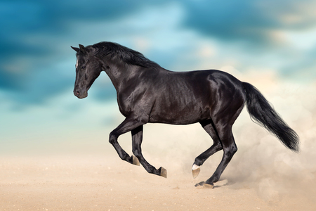 Black stallion with long mane run in desert dust against  blue sky