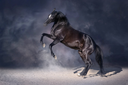 Black stallion rearing up in dark background
