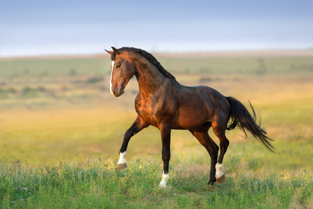 Bay stallion in green field Stock Photo
