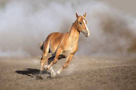 Palomino horse free run in sandy dust