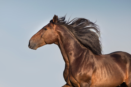 Bay horse with long mane portrait Stockfoto - 109080409
