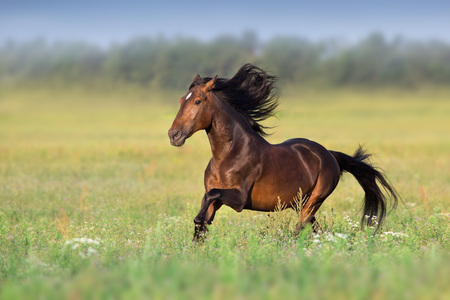 Bay horse with long mane run gallop on green field 版權商用圖片
