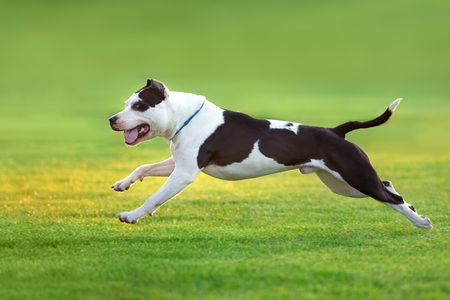Beautiful dog American Pit Bull Terrier  running on green spring field Stock Photo