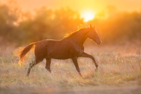 Red horse run in sunset light