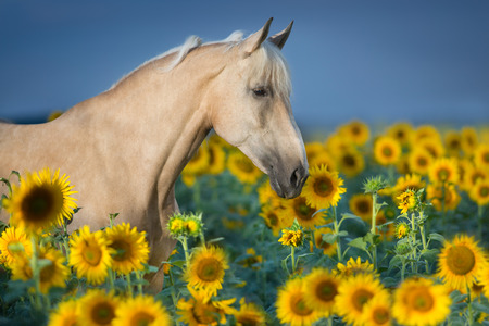 Beautiful palomino horse in sunflower field Reklamní fotografie - 109080424