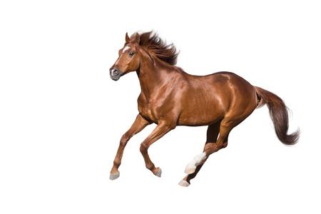 Roter Pferderennengalopp lokalisiert auf weißem Hintergrund Standard-Bild