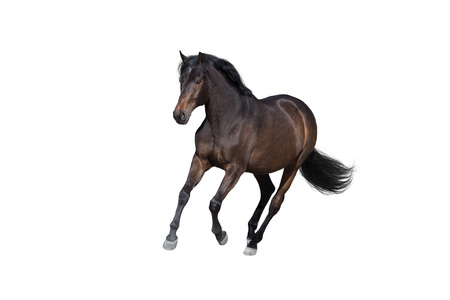 Bay horse run gallop isolated on white background Reklamní fotografie