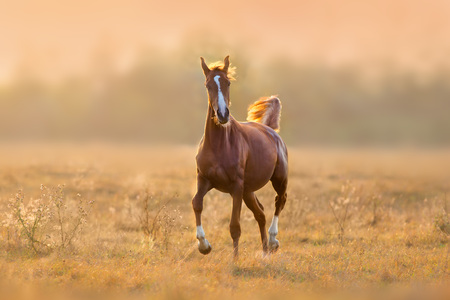 Red horse run trot in sunlight