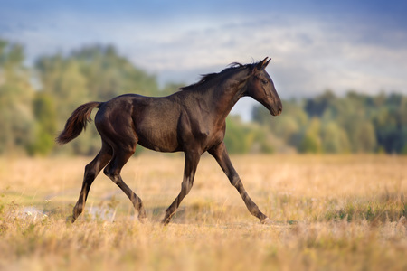 Black colt trotting on autumn field