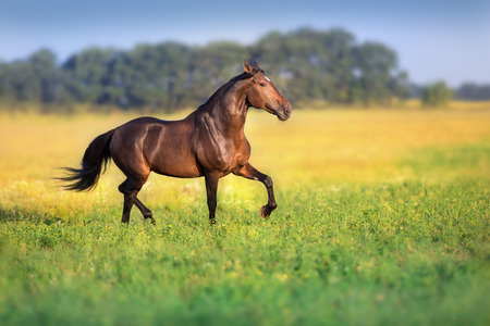 Bay trotter stallion run gallop in  spring meadow Stock Photo