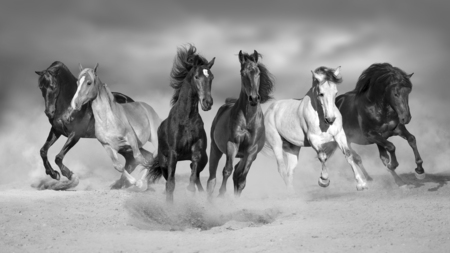 Horses run gallop free in desert dust against storm sky. Black and white