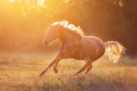 Flaxen horse run gallop at sunlight 스톡 콘텐츠