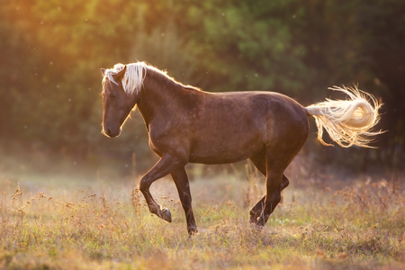 Thehorse in sunset light light , shows the piaffe outdoor free