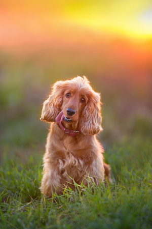 English cocker spaniel sitting in green field at  sunset Stock Photo