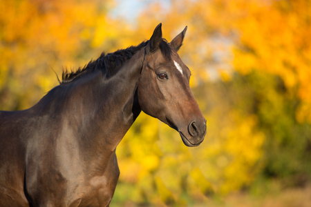 Bay stallion in fall park Stock Photo - 115314861