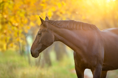 Bay stallion in fall park at sunset light