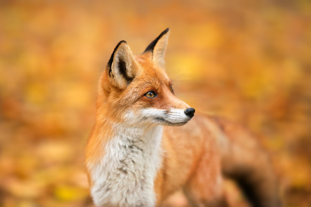 Red Fox - Vulpes vulpes, close-up portrait with bokeh of autumn trees in the background