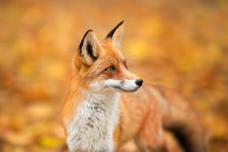 Red Fox - Vulpes vulpes, portrait en gros plan avec bokeh d'arbres d'automne en arrière-plan Banque d'images
