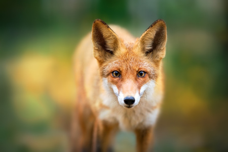 Red Fox - Vulpes vulpes, close-up portrait on autumn trees in the background  making eye contact