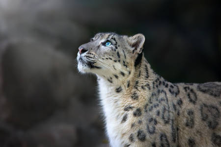 Snow leopard portrait close up on dark background Imagens