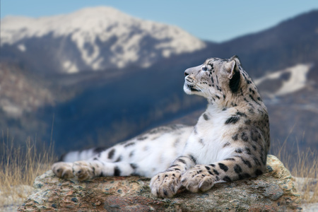 Snow leopard lay on a rock against snow mountain landscape Imagens