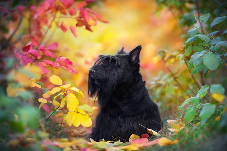 Scottish Terrier close up portrait in autumn forest