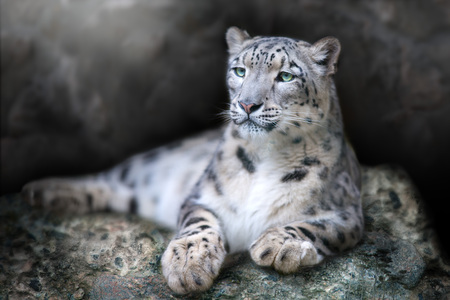 Frontal Portrait of a Snow Leopard lay on a rock against a Black Background