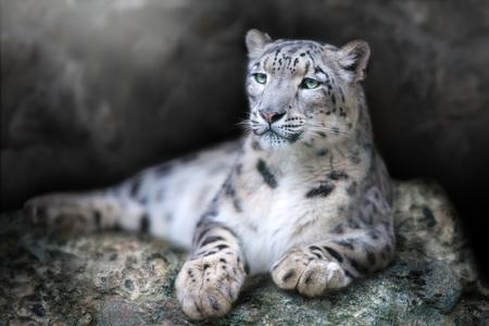 Il ritratto frontale di un leopardo delle nevi giaceva su una roccia su uno sfondo nero