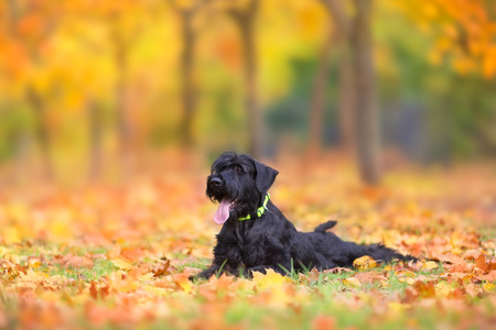 Giant Schnauzer  laying in fall leaves Banco de Imagens