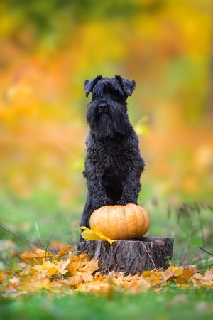 Miniature Schnauzer  in autumn park