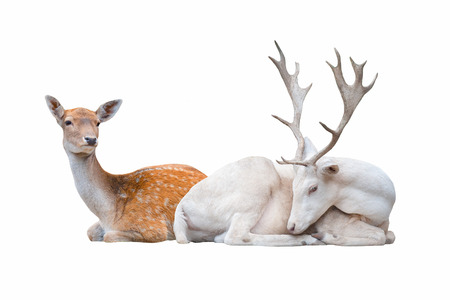 Two deer lay  isolated on white background Banque d'images - 113838298