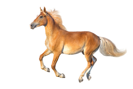 Palomino horse with long mane run gallop isolated on white background